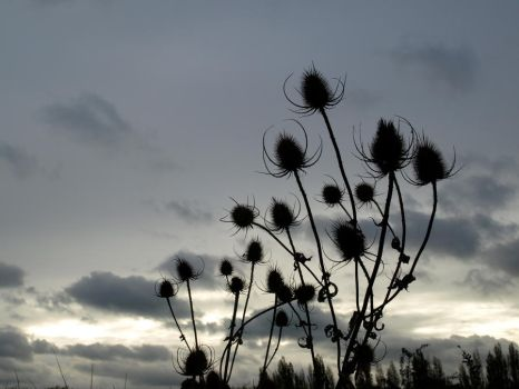Thistle Silhouette stock by 231205-stock