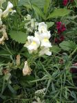 White snapdragon by Gallerica