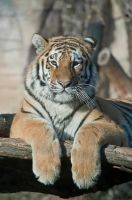 Tiger, Hluboka I by FGW-Photography