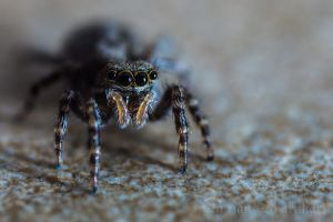 Jumping Spider (Pseudeuophrys lanigera) by BrianBarnhart