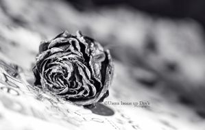 Day 162: Wilted... by umerr2000