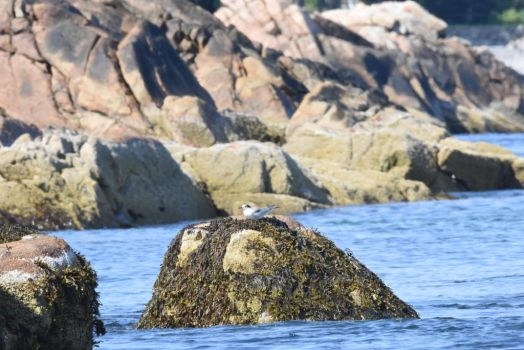 Resting On the Ocean Rock, Tern 4 by Miss-Tbones