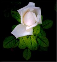 November's White Rose... by Villenueve