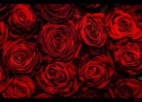 Rose passion by zarifa-huseynova