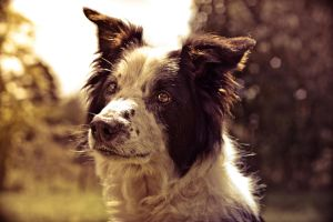 Border Collie by Taintedkitten