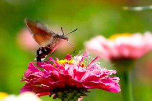 Hummingbird hawk-moth by vids
