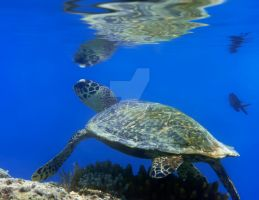 Green turtle by MotHaiBaPhoto