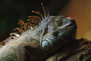 Green Iguana by perost