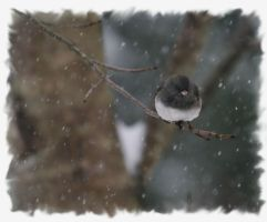 Dark-Eyed Junco by barcon53