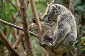 Koala wallpaper by Shutter-Shooter