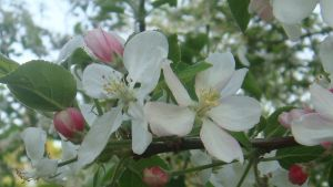 Apple Blossom by Laur720