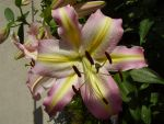 Lily Pink by Pentacle5
