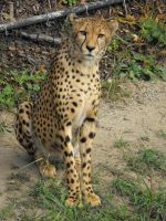 Cheetah by ArrsistableStock