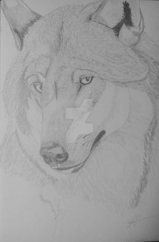 The beautiful wolf by wolf1995p