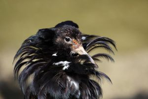 Male Ruff Displaying by cycoze