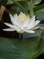 white water lily 2 by xXtimeless-stockXx