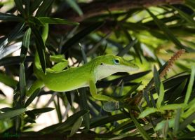 Carolina Anole by FallOut99