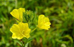 Evening Primrose by GlassHouse-1