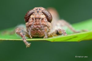 Grumpy looking Grasshopper by melvynyeo