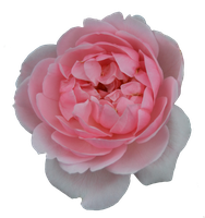 Rose PNG by FrankAndCarySTOCK