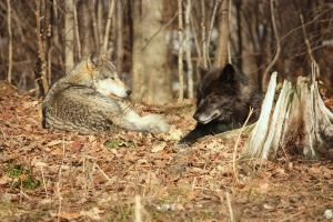 Grey Wolves at rest by GreyVolk