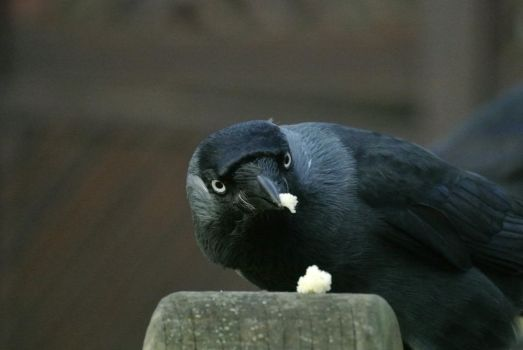 More Jackdaws... by Niall-Donnelly
