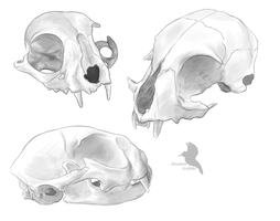 Domestic cat skull sketchs by Lizandre