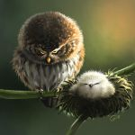 Angry Owls by giovannag