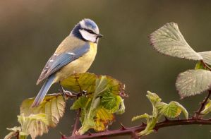 Blue Tit by Hawkeye2011