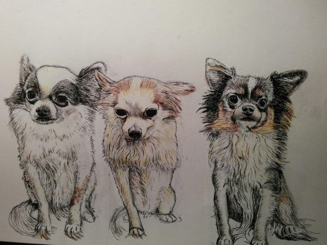 Long haired Chihuahuas by rhyshaug