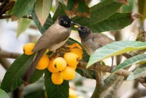 White-spectacled Bulbul by rat-or-rat