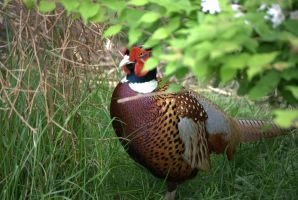 The Pheasant Approaches by bmxer197
