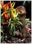 Lined Ground Squirrel 003 by ShineOverShadow