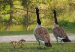 canadian goose parents from behind by Nexu4
