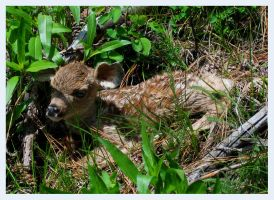Newborn Fawn by WonderDookie