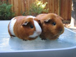 Guinea Pigs :D by Blobofboredom