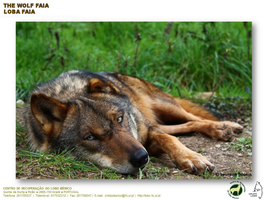 My Adoptive Faia - Iberian Wolf by Tigles1Artistry