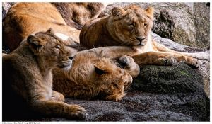 Indian Lions by Reto