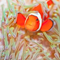 Clownfish by MotHaiBaPhoto