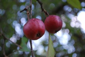 Crabapple Fruit 2 by Cwen-Natulcien