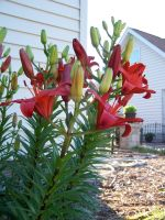 Red Asiatic Lily 6 by racheltorres921