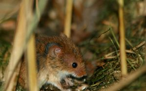 Harvest Mouse 2 by Tinap