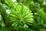 Abies by mariaper