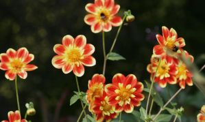 Little orange dahlias with insects by ingeline-art