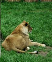 Lion 6 -- Aug 2009 by pricecw-stock