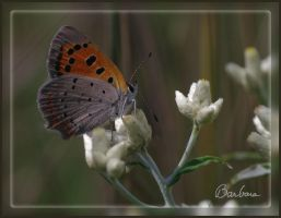 Small Copper by barcon53