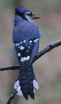 Blue Jay by LaurieSalzler