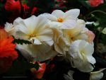 White Begonias by kayandjay100