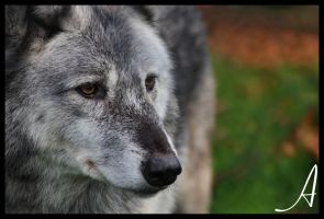 Wolf by Alannah-Hawker