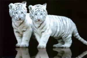 Baby Tigers by Sonishka